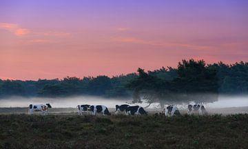 Koeien in de mist sur Dennis van de Water