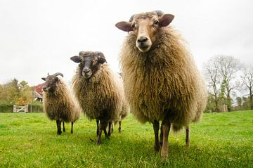 # Sheep sur Jeroen Smit
