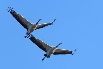 Kraanvogels vliegend in de lucht van Sjoerd van der Wal