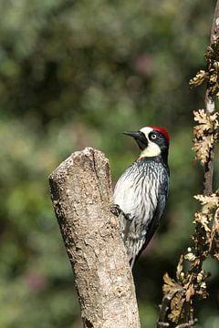 Acorn woodpecker on the watch von Tim Verlinden