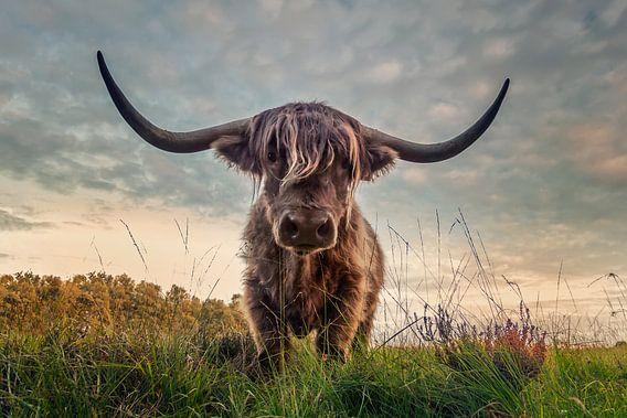Schotse Hooglander tijdens zonsondergang