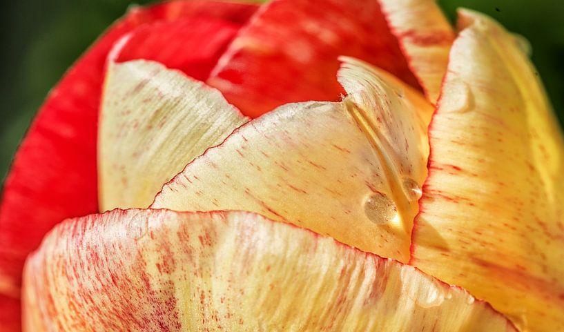 Tulp met enkele regendruppels in de volle zon van Harrie Muis