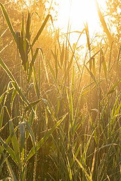 Glühendes Schilf von Koen Boelrijk Photography