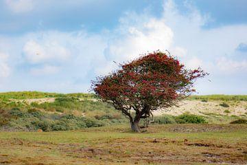 roter Baum in den Dünen von Tania Perneel