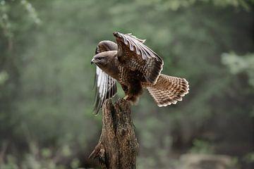 Roofvogel de Buizerd van Björn van den Berg