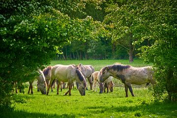 Weidende Konik-Pferde in der Horsterwold von Jenco van Zalk