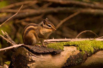 Siberische grondeekhoorn in het bos van Paul Wendels