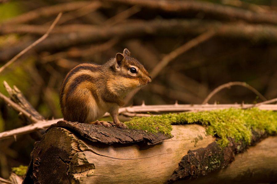 Siberische grondeekhoorn in het bos