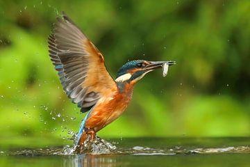 Eisvogel fängt Fische von Amanda Blom