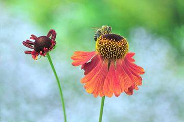 Echinacea paradoxa sur Jeannette Penris