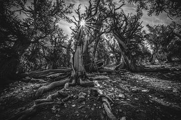De oudste bomen in de wereld van Joris Pannemans - Loris Photography