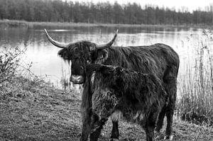 Kalf Schotse Hooglander drinkt bij zijn moeder