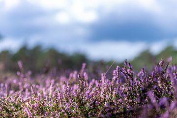 heide in bloei van Remco de Jonge Photogaphy