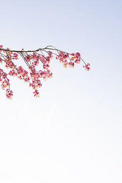 Zweig eines Baumes   Rosa Blüte   Blume von Wendy Boon