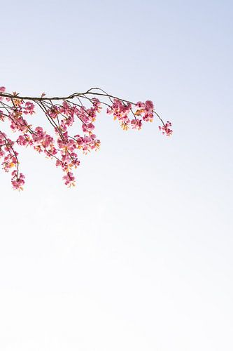 Tak van boom | Roze bloesem | Bloem