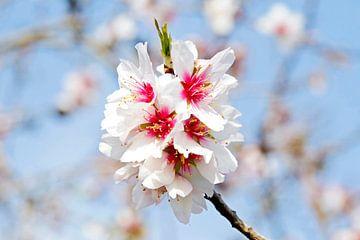 Amandel bloesem in het voorjaar in Portugal van Nisangha Masselink