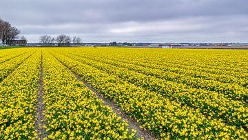 Veld vol narcissen von Richard Steenvoorden