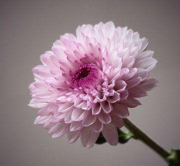 Chrysanth von Jonathan Kremer