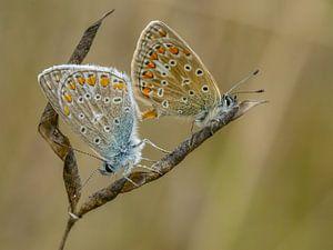 Paring van Icarusblauwtjes van