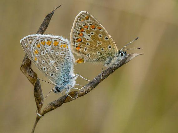 Paring van Icarusblauwtjes