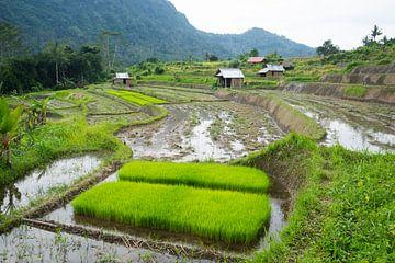 Nieuwe rijstplanten van Martijn Stoppels