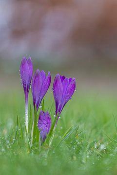 Krokusse nach einem frischen Frühlingsregen von John van de Gazelle