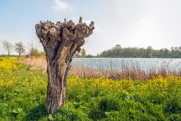 Oude knotwilg aan de rand van een klein meer van Ruud Morijn