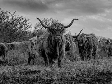 Highlanders in Berkheide von Dirk van der Plas