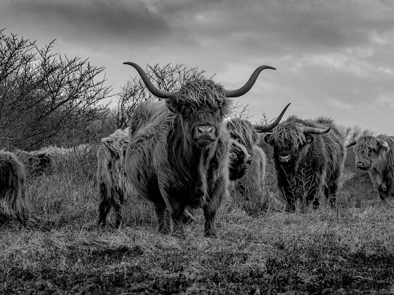Highlanders in Berkheide van Dirk van der Plas