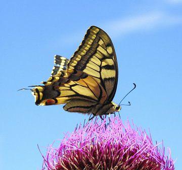 Koningsvlinder Op Akkerdistel van Gert van der Hee