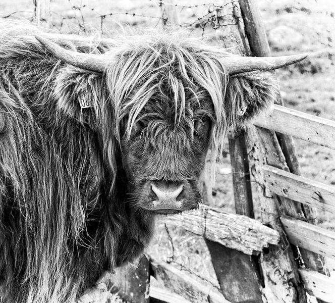 Schottische Highlander-Kuh in schwarz-weiß von Atelier Liesjes