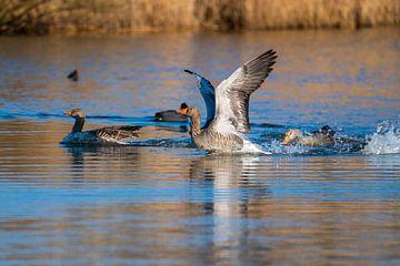 Graugans beeindruckt mit ihren Flügeln und schwimmt wie in einem Teich in Norddeutschland von Matthias Korn