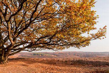 Eik op glooiend heide landschap van Mayra Pama-Luiten