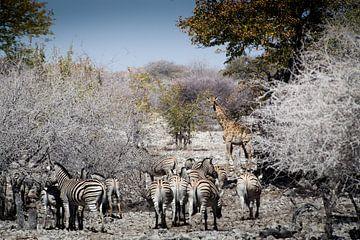 Zebra's en giraffen in Etosha van Arthur van Iterson