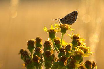 vlinder in ochtendlicht von Jeroen Grit
