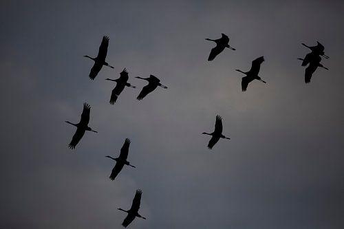 Kraanvogel van