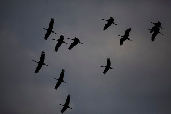 Kraanvogel van Ulrich Brodde