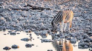 Steppezebra / Zebra bij waterput rond zonsondergang - Etosha, Namibië