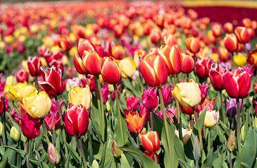 Gekleurde tulpen in de Bollenstreek van Hélène Wiesenhaan