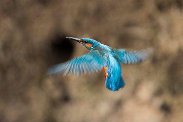 Eisvogel fliegt zum nistenden Eingang von Jeroen Stel