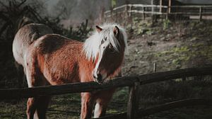 Wilde paarden bij de posbank van AciPhotography
