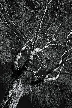 Stamm und Äste der Birke im Winter in schwarz-weiss von Dieter Walther