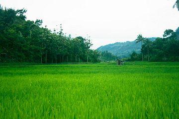 Groene rijstveld in Indonesië van André van Bel