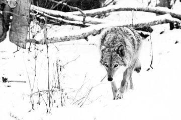 kalter Wald... die Jagd auf Tiere schnüffelt Beute. Graues Wolfsweibchen im Schnee, schönes, starkes von Michael Semenov