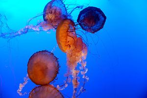 Zee anemonen