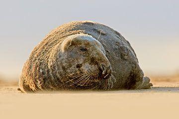 Graues Siegel am Strand von Jeroen Stel