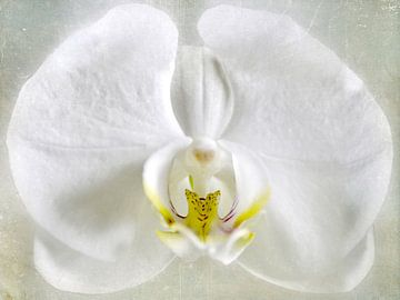 wit Orchidee van Christine Nöhmeier