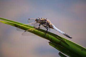 libelle van kim van Bockhove