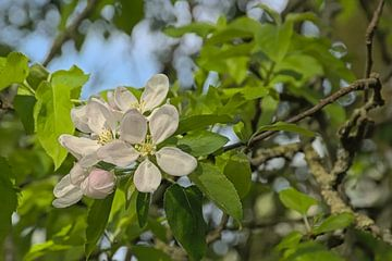 Grote witte appelbloesems van Kristof Lauwers