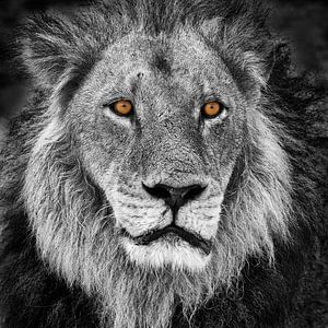 Porträt eines Löwen im Schwarz-Weiß mit orange Augen von